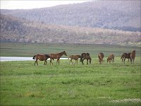 Brumbies grazing at Lake Tantangara